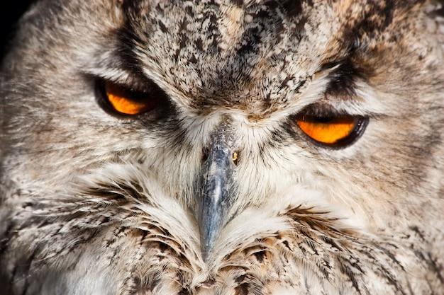 Königliche eule: vollständige klassifizierung bubo bubo - aves - neognata - strigiformes - striginae