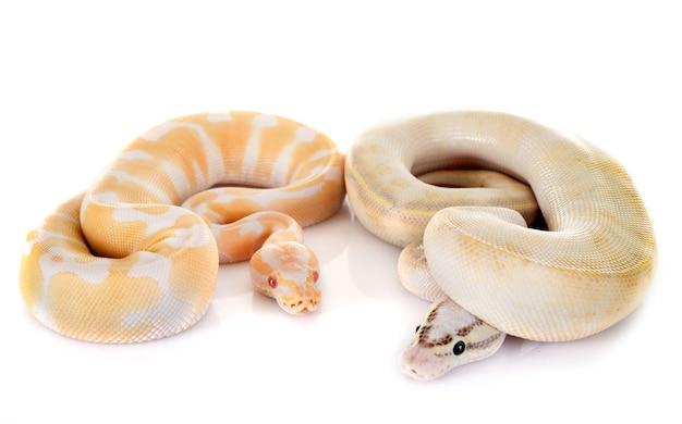 Königliche pythons im studio