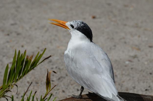 Königliche seeschwalbe an einem strand mit seinem teilweise geöffneten schnabel.