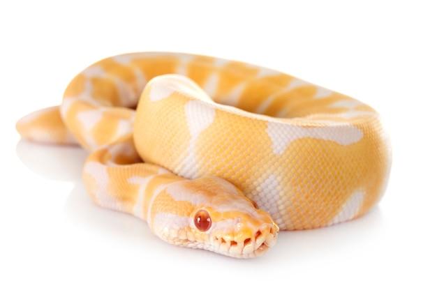 Königlicher python im studio