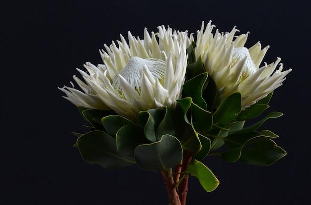 Königproteablumenbündel auf einem schwarzen lokalisierte hintergrund. nahansicht. für design. natur.