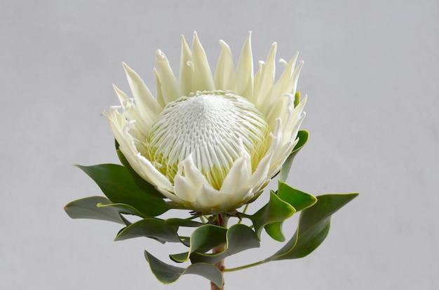 Königproteablumenbündel auf einem weißen getrennten hintergrund. nahansicht. für design. natur.