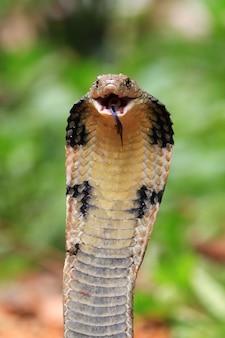 Königskobra schlange