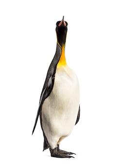 Königspinguin, der vor einem weiß steht