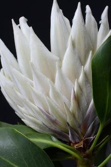 Königsprotea-blumenbündel lokalisiert auf einem schwarzen hintergrund