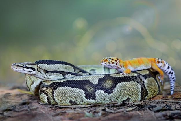 Königspythonschlange mit gelbem leopardgecko auf gras im tropischen wald