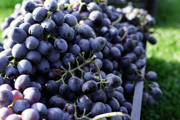Körbe mit reifen trauben schwarzer trauben im freien. herbsttrauben ernten im weinberg auf gras versandfertig für die weinherstellung. cabernet sauvignon, merlot, pinot noir, sangiovese traubensorte in kisten.