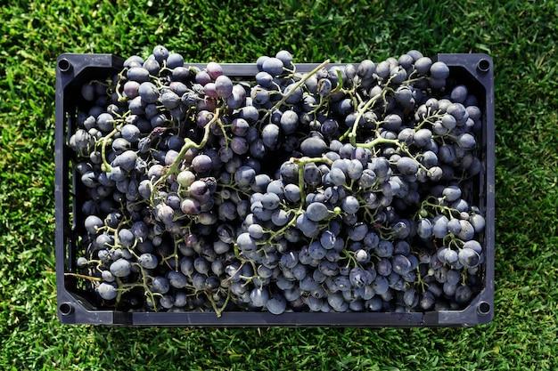 Körbe mit reifen trauben schwarzer trauben im freien. herbsttraubenernte im weinberg
