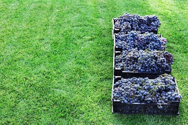 Körbe mit reifen trauben schwarzer trauben im freien