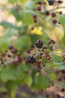 Köstliche brombeerpflanze