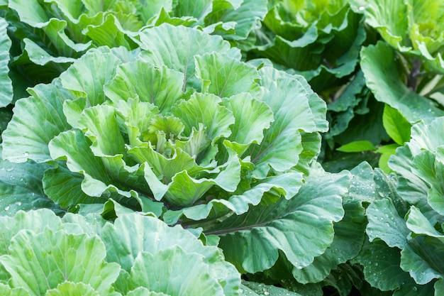 Kohl bloomin im biohof des gartens und der landwirtschaft