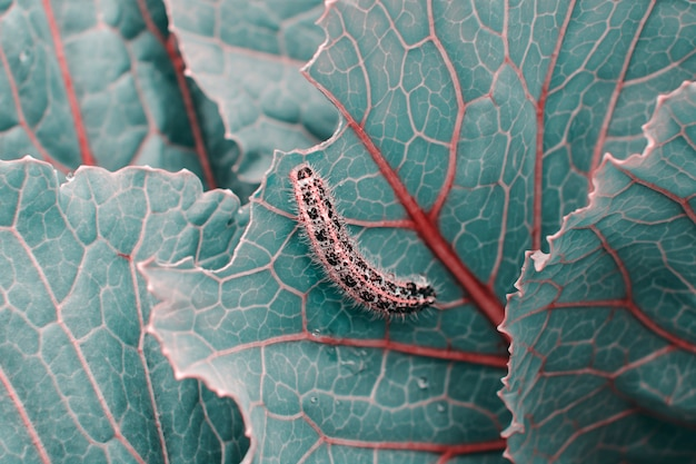 Kohl in blauen und türkisfarbenen trendtönen mit roten adern schließen. caterpillar kriecht kohlblatt mit kopierraum.