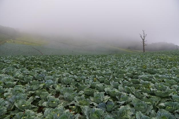 Kohlackerland auf berg mit nebel