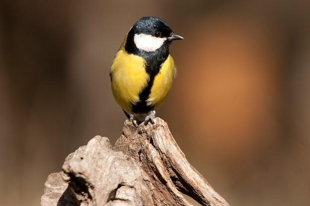Kohlmeise auf einem ast mit dem letzten licht des nachmittags, vögel, sperlingsvögel, parus major
