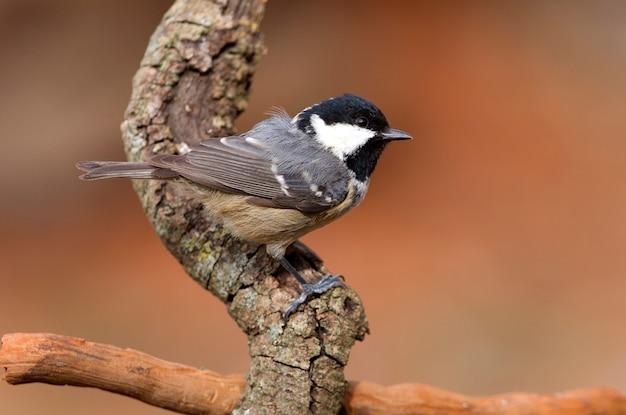 Kohlmeise auf einem ast mit den letzten lichtern des nachmittags, vögel, sperlingsvögel, periparus ater