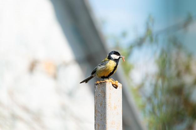Kohlmeise auf einer steinsäule mit raupe für ihr nest im schnabel.