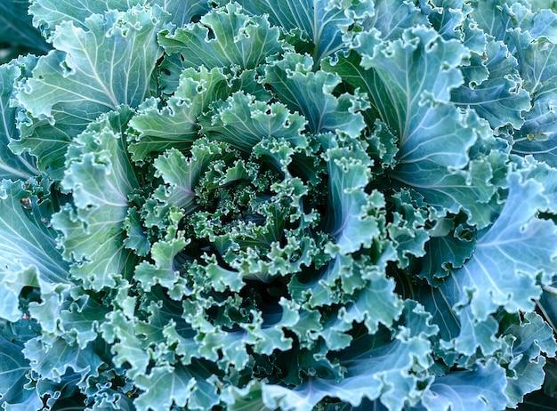 Kohlpflanzen im gemüsegarten