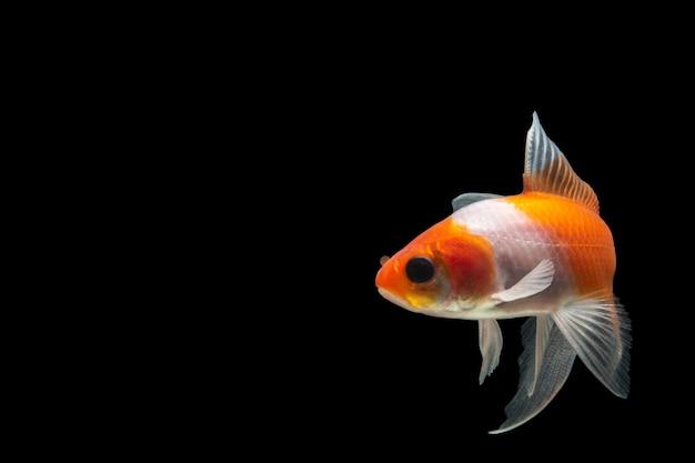 Koi fisch farbe