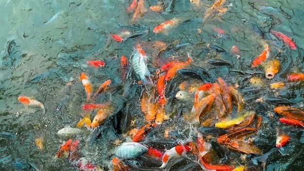 Koi-fische, bunte ausgefallene fischnahaufnahmeschwimmen am teich.