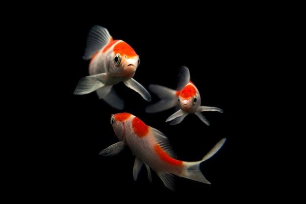 Koi-fische isoliert