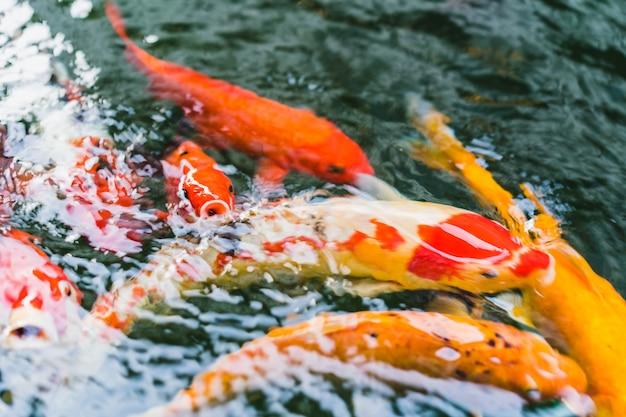 Koi-fischschwimmen in einem teich im garten