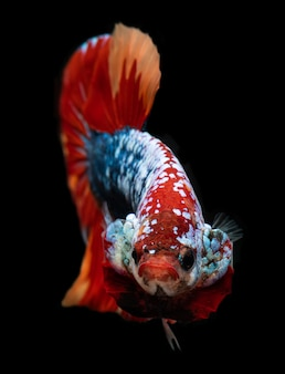 Koi galaxie phantasie betta fisch.