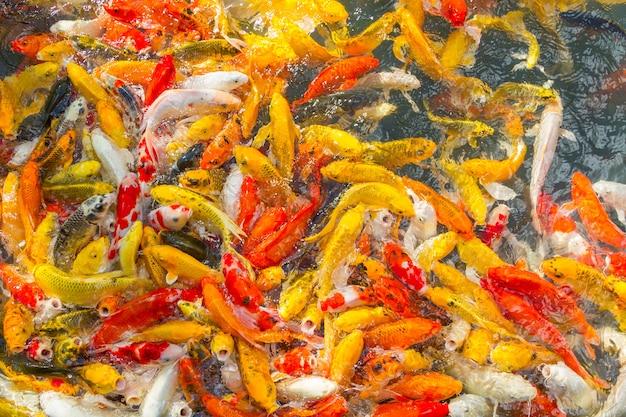 Koi-karpfen-fisch-japaner, der schönen farbhintergrund schwimmt (cyprinus carpio)