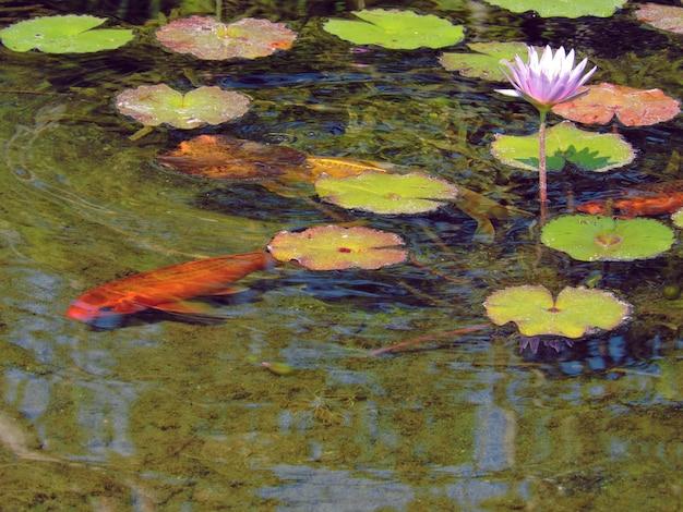 Koifische im lotosblumenteich