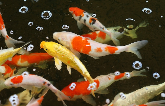 Koifische schwimmen auf dem teich