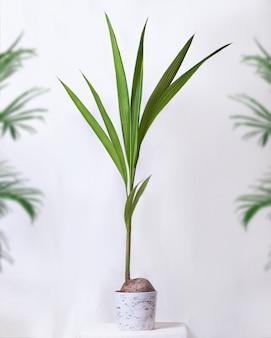Kokos-kokos-fruchtpflanze im weißen topf
