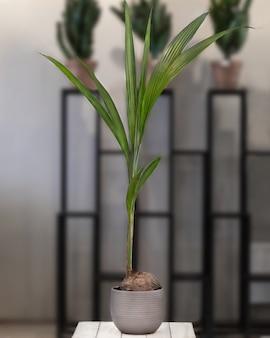 Kokos-kokos-fruchtpflanze