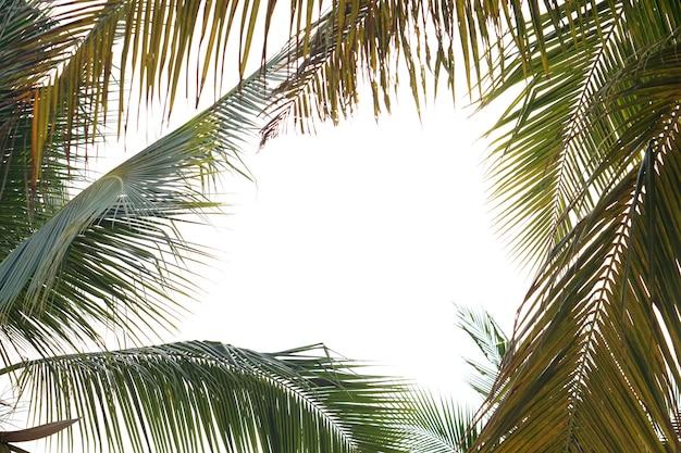 Kokosblätter auf weißem hintergrund