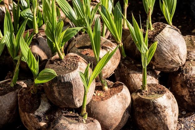 Kokosfrüchte und wachstumsbaum auf naturhintergrund.