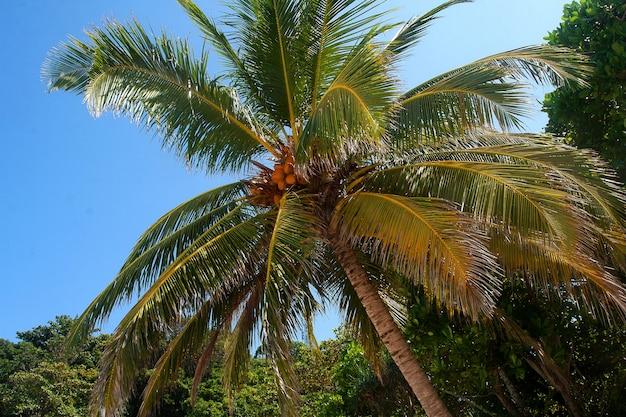 Kokosnüsse reifen auf einer palme gegen einen blauen himmel in den similan-inseln.