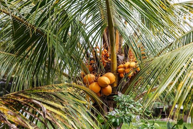 Kokosnüsse wachsen auf einer palme.