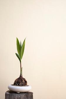 Kokosnuss bonsai baum hobbys innenarchitektur home natur garten kopie raum textur hintergrund