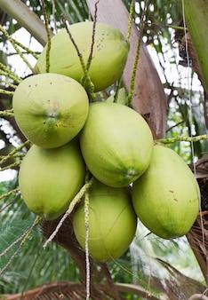 Kokosnuss-bündel