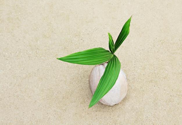Kokosnuss mit grünem sprössling