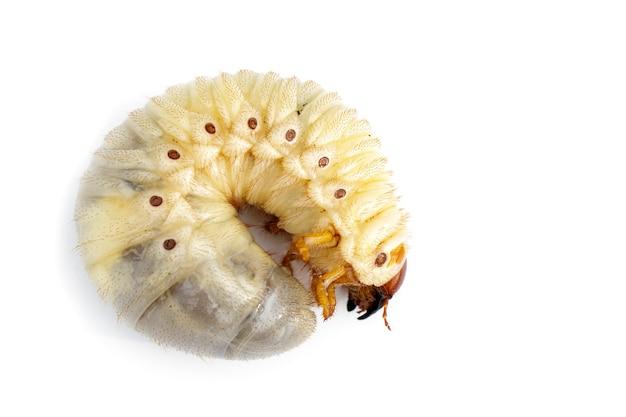 Kokosnuss-nashornkäfer (oryctes-nashorn)