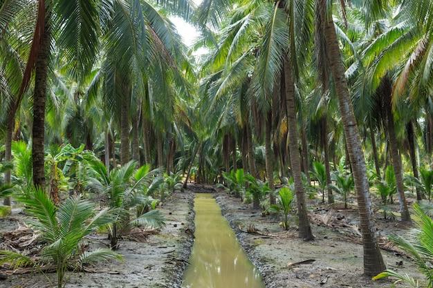 Kokosnuss-palme