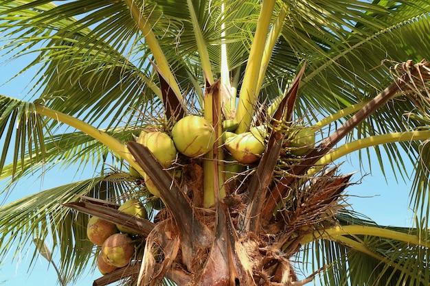 Kokosnussbäume mit klarem blauem himmel und sonnenlicht in der sommerzeit.