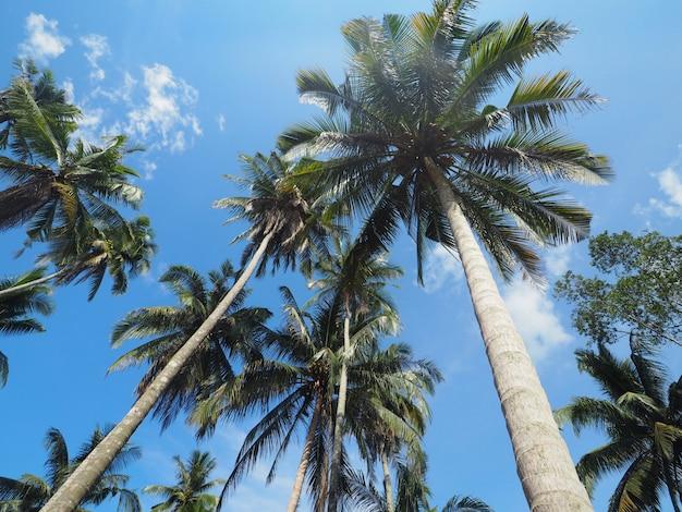 Kokosnussbäume oder palmen mit klarem hintergrund des blauen himmels im sommer.