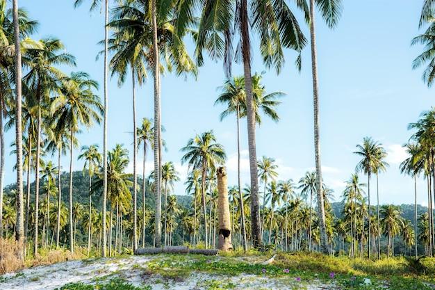 Kokosnussbaum am strand.