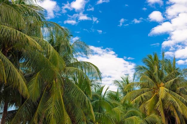Kokosnussbaum für hintergrund.