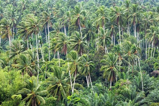 Kokosnussbaum im garten