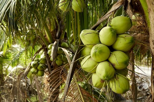 Kokosnussbaum mit kokosnussfrüchten.