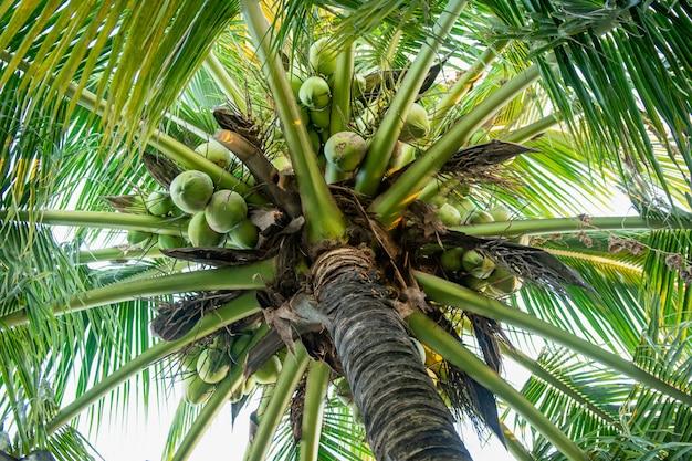 Kokosnussbaum und kokosnussfrüchte, die an der baumansicht von unterhalb hängen