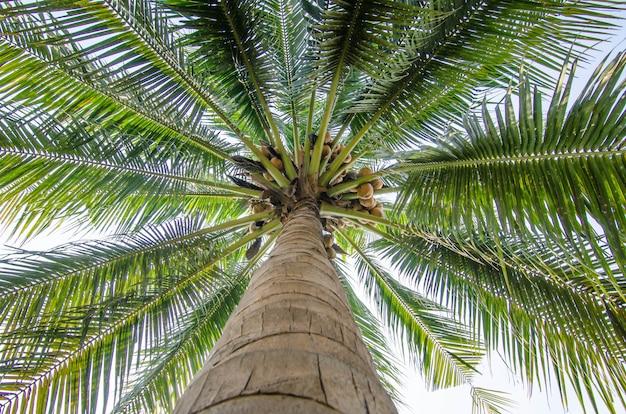 Kokosnussbaumansicht zum himmel für natürliches walllaper / hintergrund / hintergrund