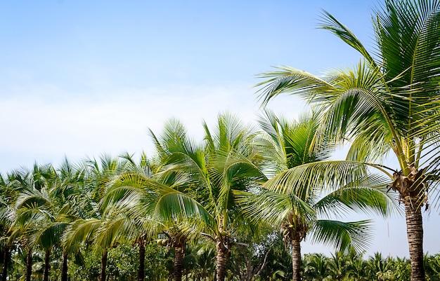 Kokosnussgarten auf blauem himmel