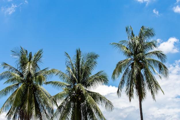 Kokosnusspalmen, schöner tropischer hintergrund
